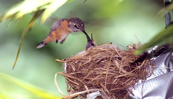 After hummingbirds mate, the female builds a nest and raises her young on her own. Once they hatch, the young birds fledge in about four weeks.