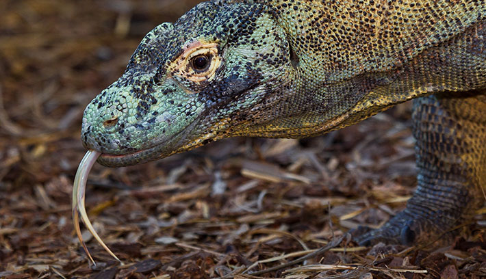 Komodo dragons inhabit five islands in southeastern Indonesia.