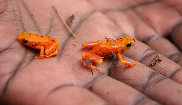 Tiny mantella frogs from Madagascar are among the most brightly colored and spectacular of all frogs.