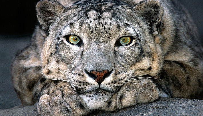 The snow leopard's wide, furry paws give the cat great traction on snow, and fur on the bottom protects and cushions their feet.