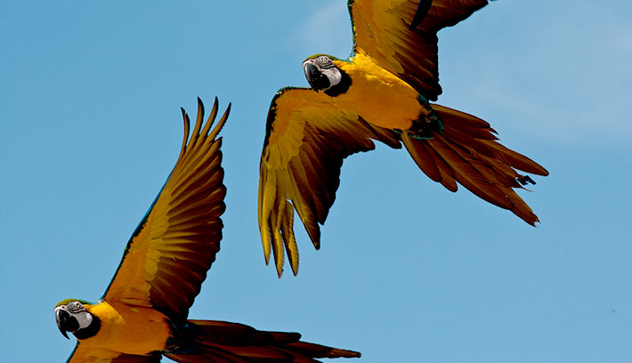 Macaws fly as far as 15 miles (24 kilometers) each day to feed.