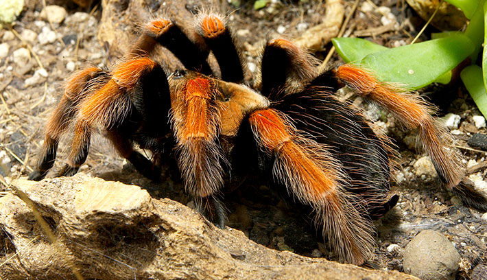 Tarantulas have two body segments—a cephalothorax and abdomen—and very strong jaws with venomous fangs. Their legs (all eight of them!) are covered with tiny hairs.