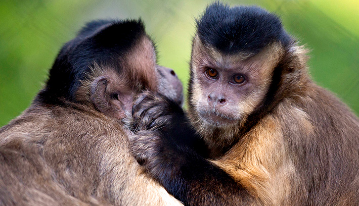 Capuchins, like other monkeys, engage in daily mutual grooming to build strong family bonds.