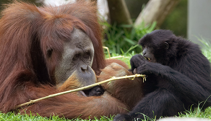 Orangutans and siamangs inhabit the forests of Indonesia and Malaysia.