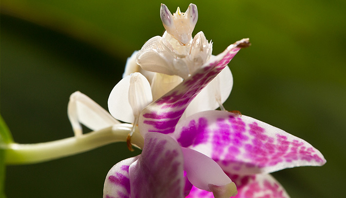 This adult orchid mantis has exceptional natural camouflage: its body looks like part of the orchid it sits atop.