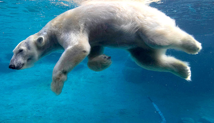 A polar bear can swim at a speed of up to 6 miles per hour (8 knots).