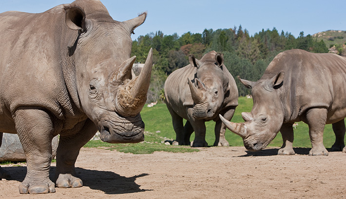 A group of rhinos is called a crash.