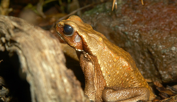 The glands behind the eyes of the smooth-sided toad produce powerful toxins that kill anything that tries to eat them.