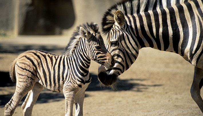 Foals learn their mother's stripe pattern soon after birth, to follow the right mom.