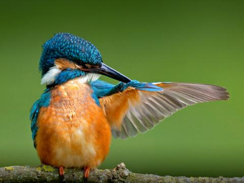 A kingfisher preening its extended wing