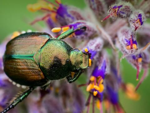 Shining Leaf Chafer Beetle