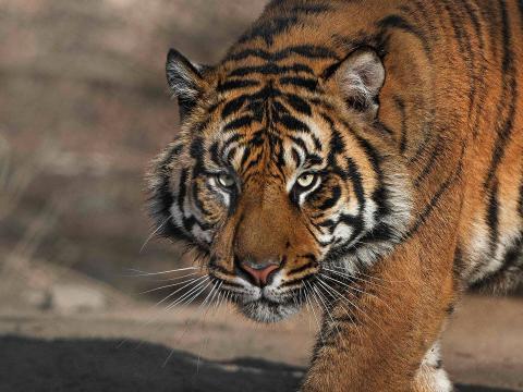 tiger san diego zoo animals plants