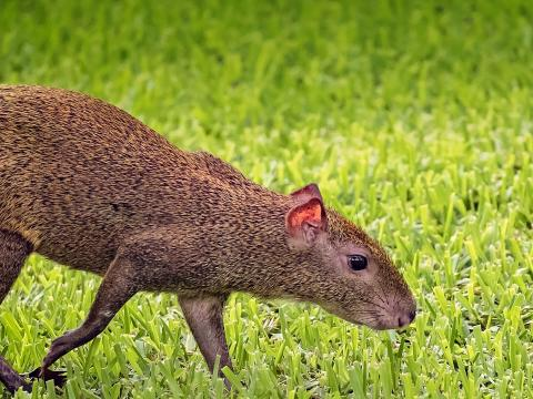 Agouti sniffs the grass
