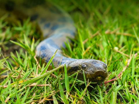 Anaconda slithers through the grass