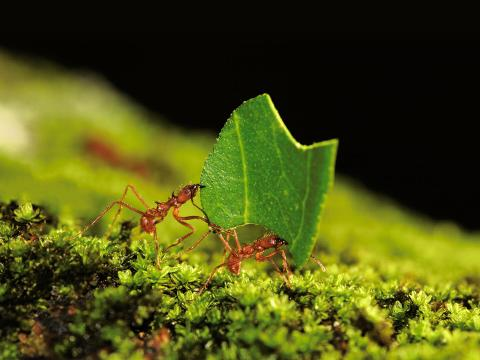 Amazonian leafcutter ants