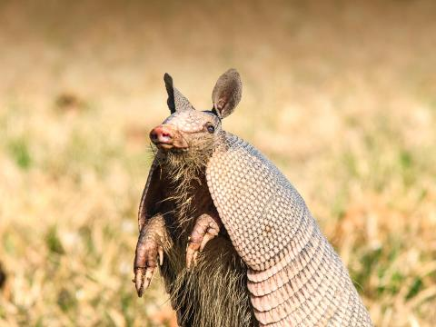 Armadillo on the prairie