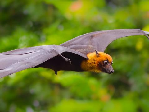Flying fox