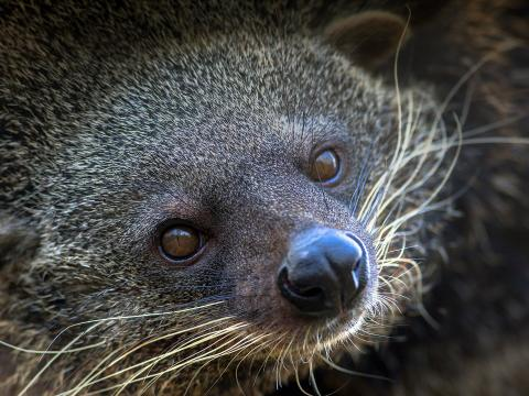 Binturong or Bear Cat