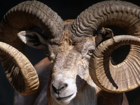 Closeup of a male Trandcaspian urial displaying his large, curved horns