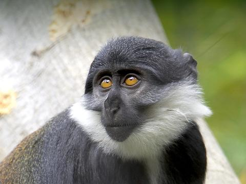L'hoest guenon looking left and up