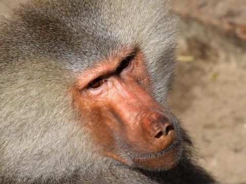 Close up of a hamadryas baboon's face