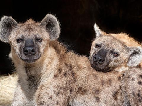 Spotted hyena Turbo rests his head on his brother, Zephyr's, back as they lay in their den.