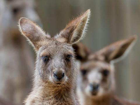 A group of wallabies stare head on at the camera