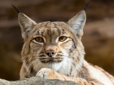 Close up of a lynx face as it looks slightly to the left with its eyes