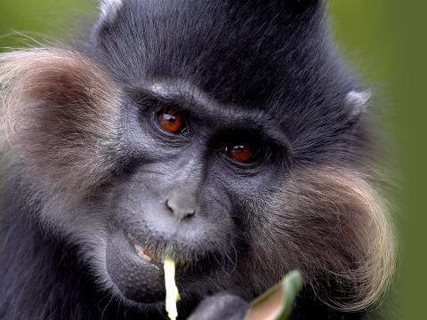 Close up of a mangabey monkey's face as he chews on a piece of food