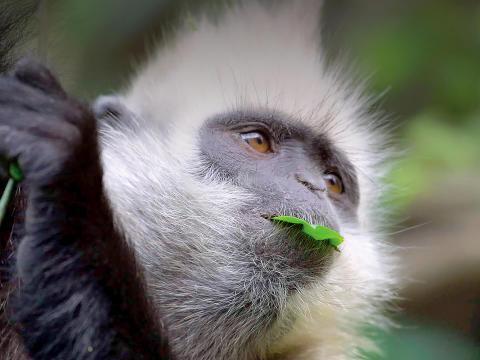 Closeup of a white-headed langur holding onto a branch while it holds a green leaf in its mouth