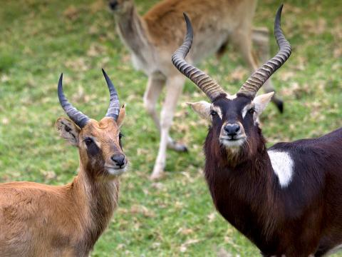 Female Nile lechwe displaying light coat, and male displaying dark coat