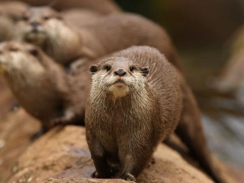 Asian short-clawed otters on log