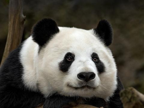 Giant Panda Bai Yun gazes into the distance