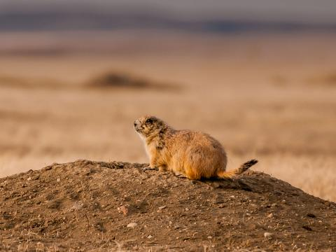 Black-tailed Prairie Dog at Sunset