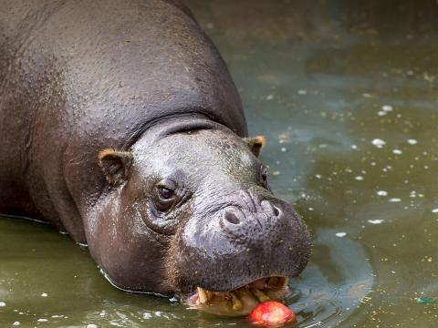 Pygmy hippo enjoys an apple