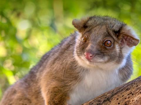 Ringtail possum sitting on a tree branch