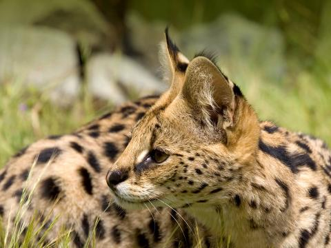 Serval laying in the grass