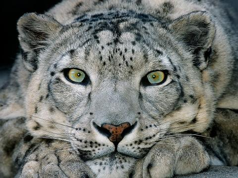 A snow leopard with aqua eyes stares at the camera