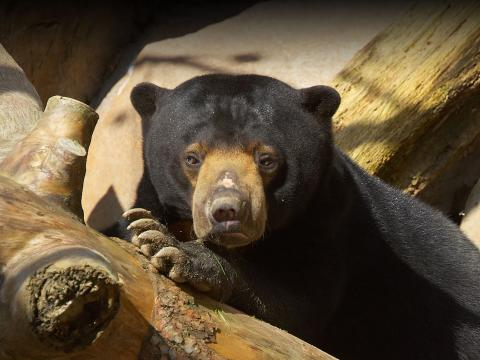 A sun bear relaxes with its paw under its muzzle, on a wooden log