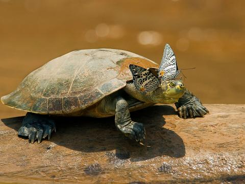 Turtle with butterflies, Amazon