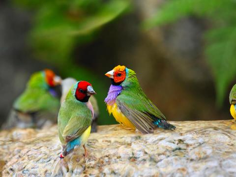 Gouldian finches resting in shallow water.