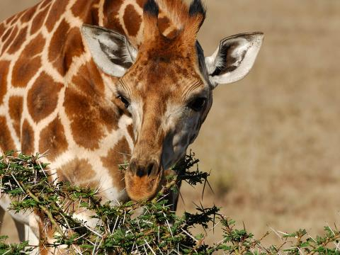 A giraffe dines on some thorny acacia leaves in Africa