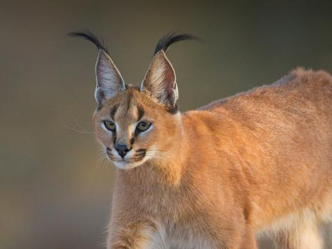 A caracal stares to the left as it walks