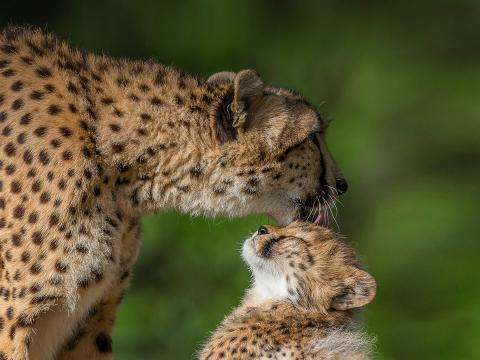 Mother cheetah grooming  young cub