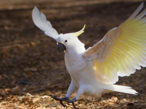 Sulphur-crested cockatoo landing on fallen leaves.