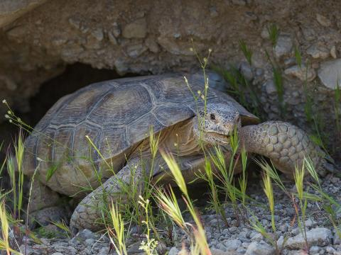 During the hottest part of summer, desert tortoises descend into deep burrows for a period of estivation