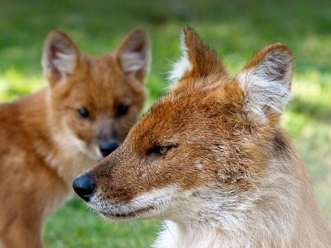 A female dhole looks straight left as one of her pups stands behind her