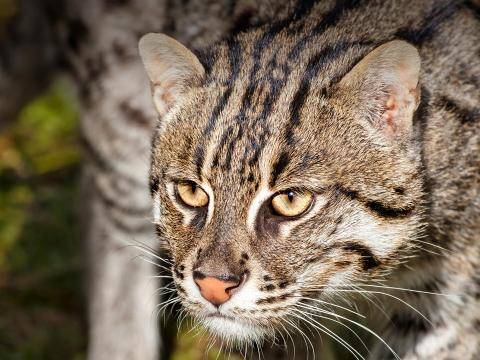 Fishing cat prowling through tall grass reeds