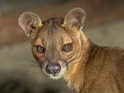 Closeup of a female fossa looking to the right