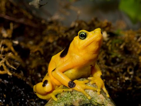 Panamanian Golden Frog sitting on an algae covered rock in front of a mossy backdrop